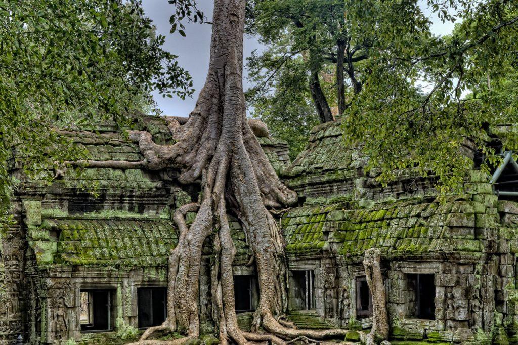 Angkor Wat strangler figs